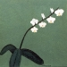 Moth Orchid Branch